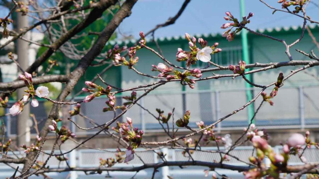 山崎川の桜 2019年3月24日