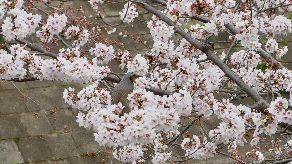 山崎川の桜 2019年3月25日