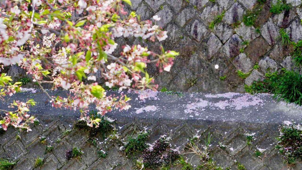 山崎川の桜│2019年4月11日