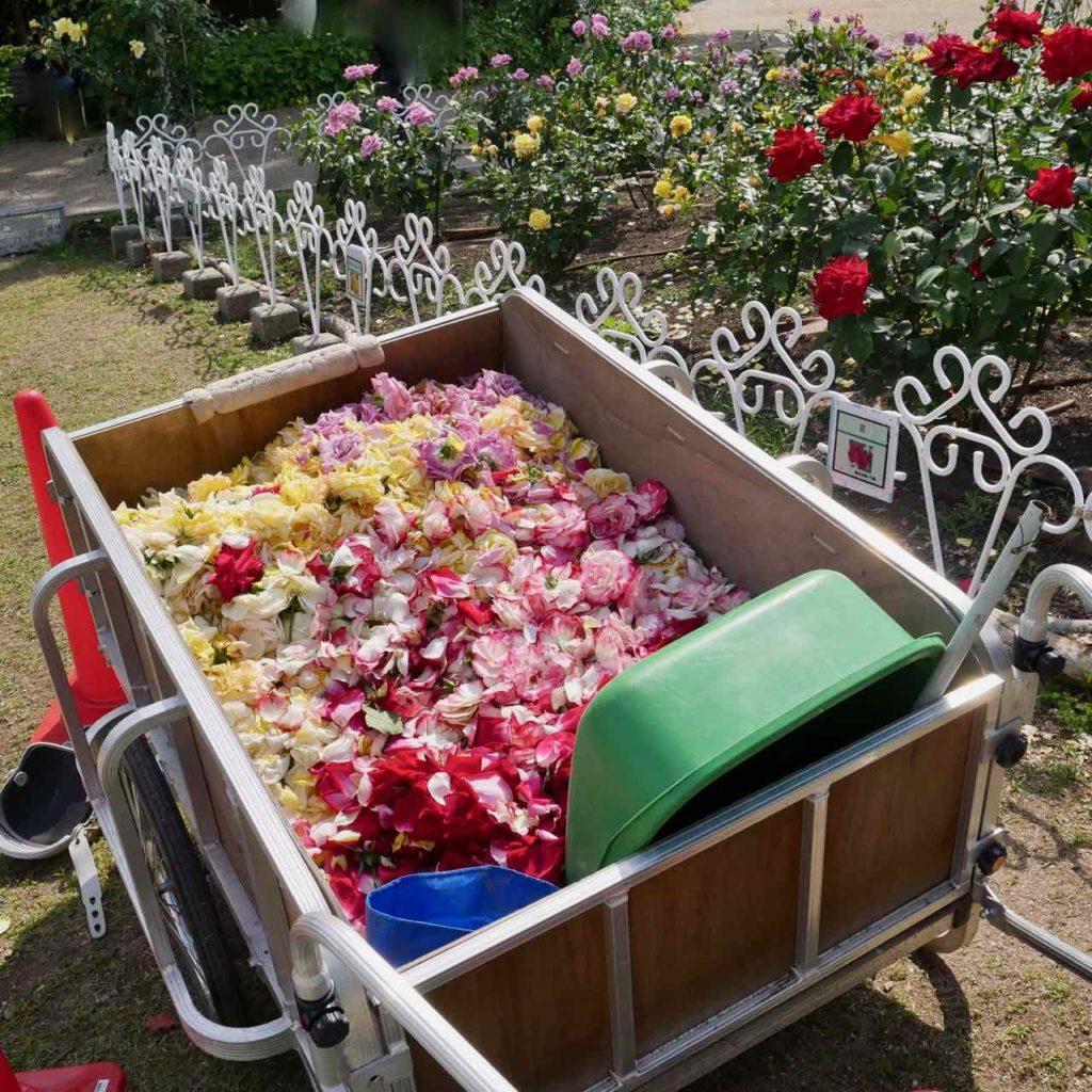 鶴舞公園・バラの花びら2
