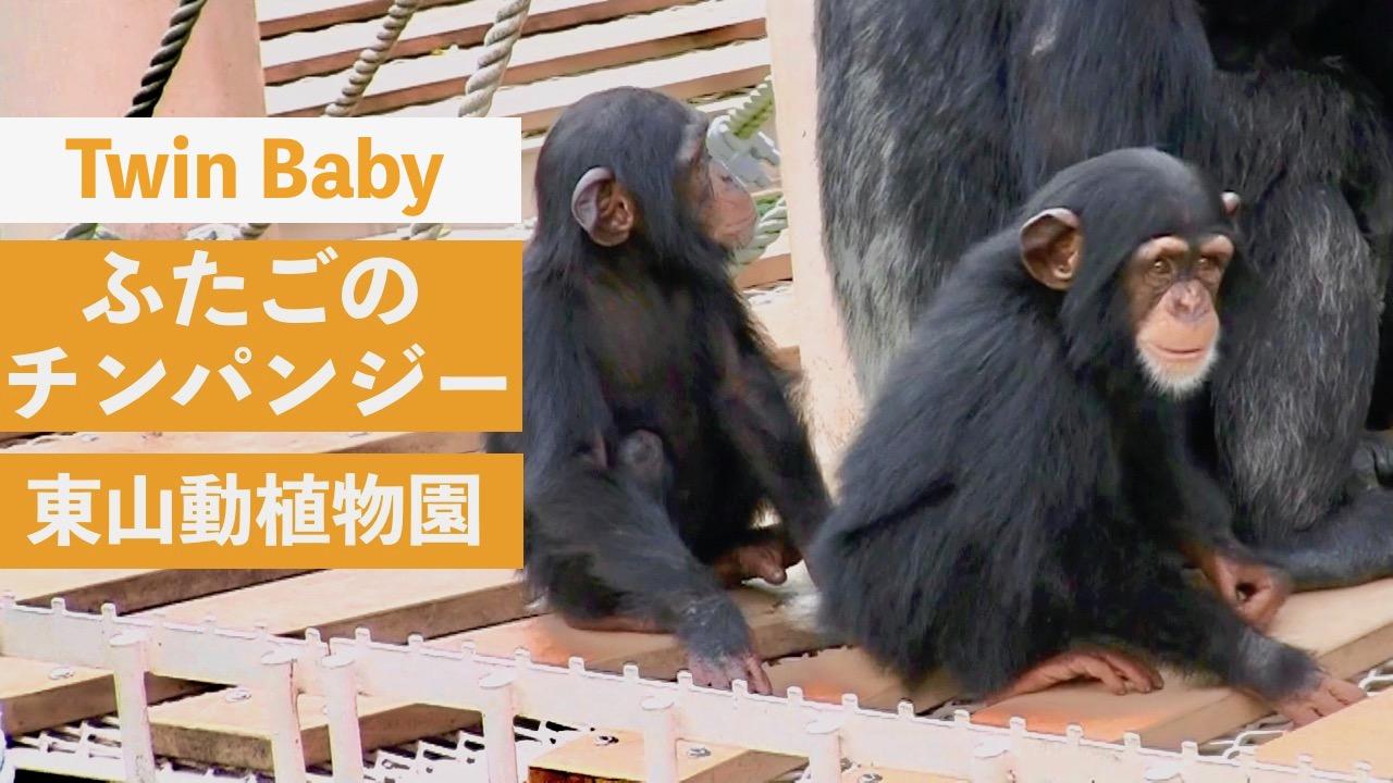 ふたごのチンパンジー@東山動植物園